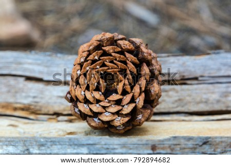 Pinecone photographed from the base while resting on a log in the Arizona forest.