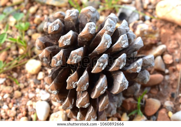 Pinecone photography Background