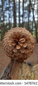 pinecone at pine forest in Mérida, Venezuela