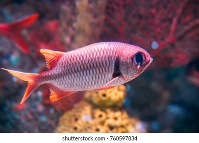 Pinecone Soldierfish Fish Myripristis Murdjan With Big Eyes Swimming In Water.