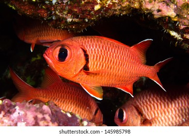 Pinecone soldierfish (Myripristis murdjan) in the Red Sea, Egypt.