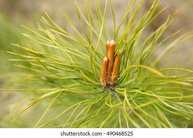 Pine-cones hanging from the branches of an evergreen tree.