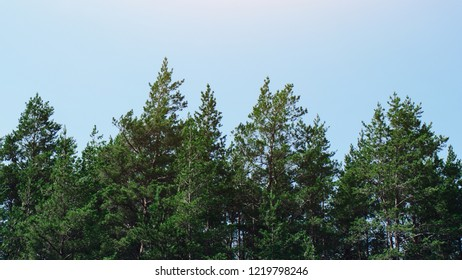 pines against blue sky backgraund