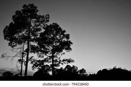 Pines backlit, black and white, nightfall from the natural park of Pilancones, Canary islands