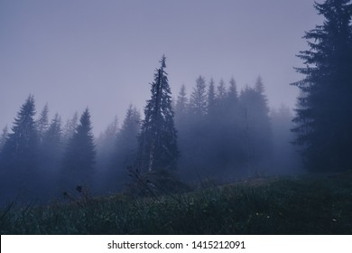Pines at dawn in the fog. Carpathians. Forest in the mountains.