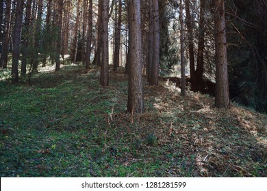 Pines forest in California, USA