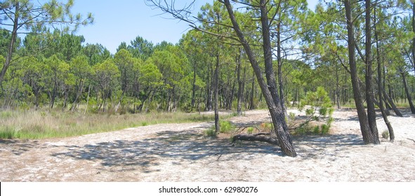 The pines on the Sanguinet lake beach in the Landes - South west France.