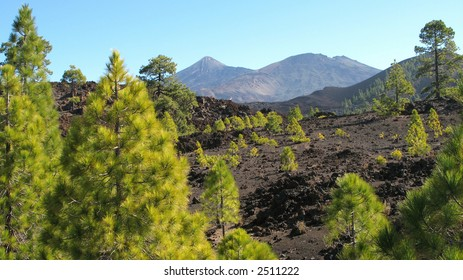 Pines on volcanic ash
