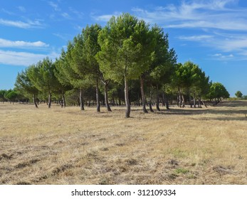 Pines plantation in a harvested ground. Environment, agriculture and reforestation