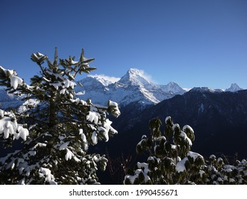 the pines and rhododendrons with snow which a great himalayan mount on background, view from poonhill, nepal.