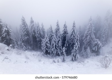 Pines, snow and fog