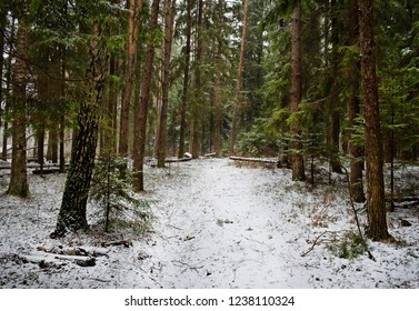 pines and spruces in the winter snowy forest
