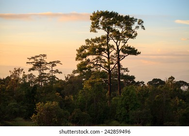 Pines and sunset