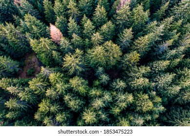 Pinetree forest aerial view from drone