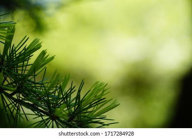 Pinetree leaves macro nature lush green