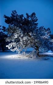 pine-tree in spotlight