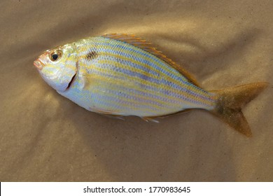 Pinfish (Lagodon rhomboides) on a beach. Fish with blue and yellow stripes. Gulf of Mexico habitat.