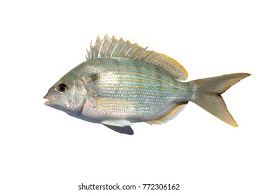 The pinfish, Lagodon rhomboides, is a saltwater fish of the Sparidae family, the breams and porgies.Isolated on white background