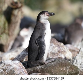 Pinguin in captivity, selective focus on the eye