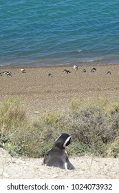 pinguin isolated in the nest and group in the coast from Peninsula Valdes, Patagonia, Argentina