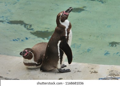 Pinguins in a zoo with water background.