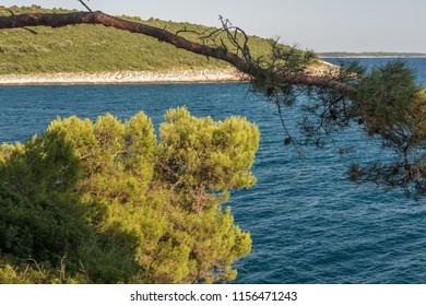 Pinian trees at Adriatic See shore in Banjole (Pula, Croatia)