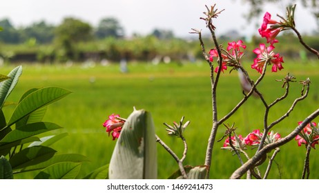A pink Adenium flower with blur green leaves background. Adenium obesum is grown as a houseplant in temperate regions. Adeniums are appreciated for their colorful flowers.