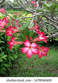 A pink Adenium flower with green leaves background.