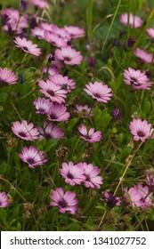 Pink African daisy Osteospermum ecklonis flowers in a park