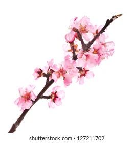 rosafarbene Mandeln blühen auf einem Ast, Nahaufnahme. einzeln auf weißem Hintergrund
