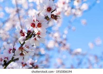 pink almond tree bloom over blue sky - Shutterstock ID 1910306194