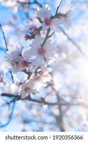 pink almond tree bloom over pale blue sky