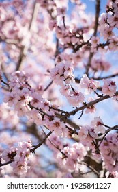 Pink almond tree branches in bloom. Wallpaper texture. Beautiful flowers in Elche, Alicante, Spain. Vertical.