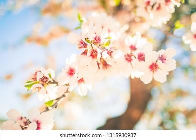 Pink almond tree full of flowers