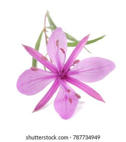 Pink Alpine Willowherb Flower Isolated On White