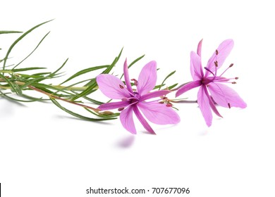 Pink Alpine Willowherb Flowers Isolated On White