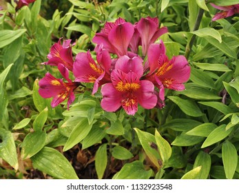Pink Alstroemeria 'Adonis' flowers and green leaves
