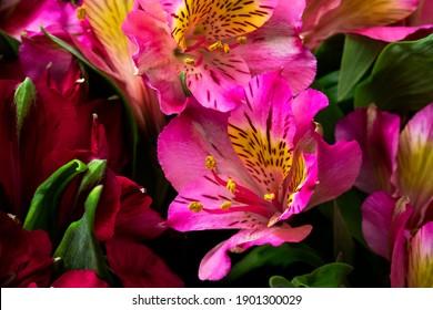 Pink alstroemeria in a bouquet close-up. Flower background