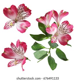 Pink alstroemeria isolated on white background