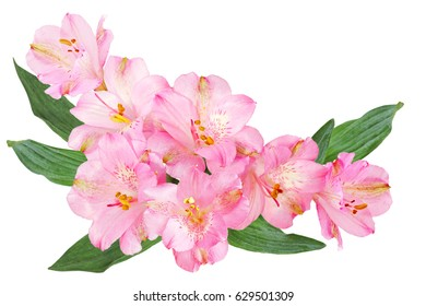 Pink Alstroemeria (Peruvian lily) flowers isolated on white background