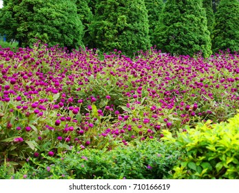 the pink amaranth with green tree background