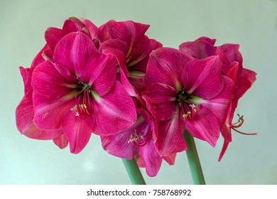 Pink amaryllis flower blooming