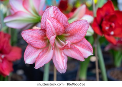 Pink Amaryllis flower blooms in the garden with Amaryllis background, Amaryllis double flowers, soft focus