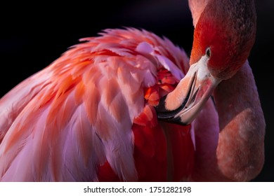 pink American flamingo on fire cleaning its feathers