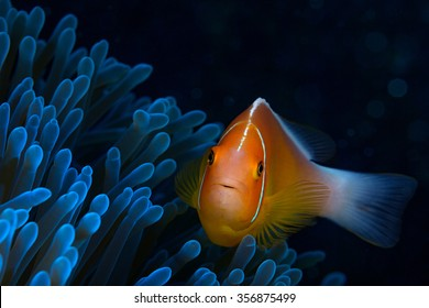 Pink anemone fish among a blue anemone patch in the warm, tropical waters of Guam, USA.