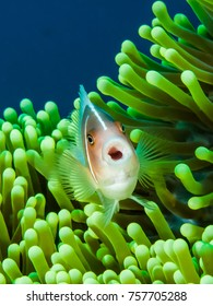 A pink anemone fish poses with its mouth open at Fukui Reef, Manado, Indonesia