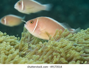 pink anemone-fish (Amphiprion perideraion)