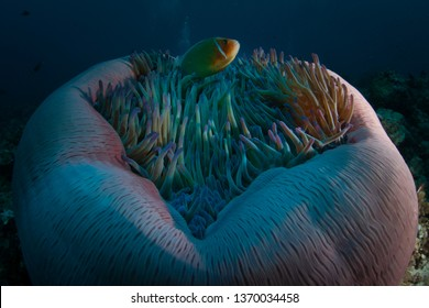 A Pink anemonefish, Amphiprion perideraion, swims among the tentacles of its host anemone on a coral reef in Palau. This tropical island-nation is home to extraordinary marine biodiversity.