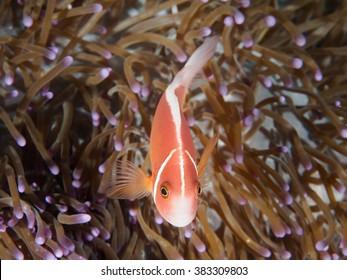 Pink Anemonefish on the anemone - underwater photography