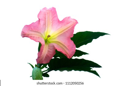 Pink angel trumpet  flowers (brugmansia arborea) isolated on white background.